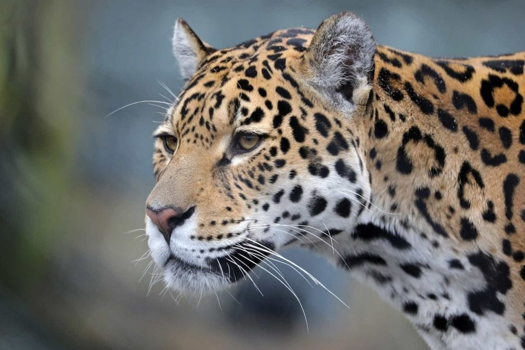Jaguar captured in the Mayan Biosphere. Honeymoon Guatemala Belize Tours