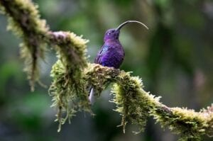Violet sabrewing, adult male, sticking his tongue way out. Central America