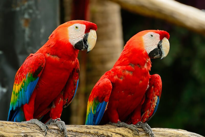 Scarlet Macaw in the jungles of Honduras