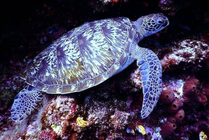 Marvelous colorful Sea Turtle in the fascinating barrier reef.