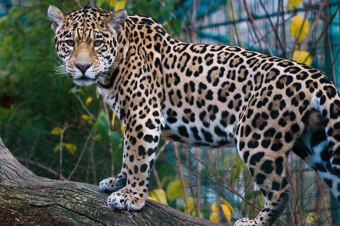 Jaguar spotted in the Cockscomb Basin Natural Reserve, Belize.