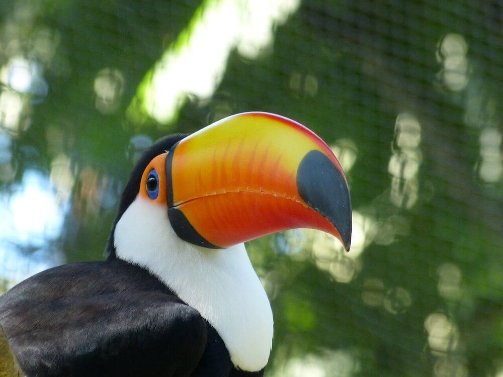 Colorful toucan in the jungles of Nicaragua